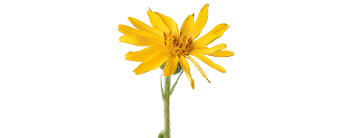 Mexican Arnica