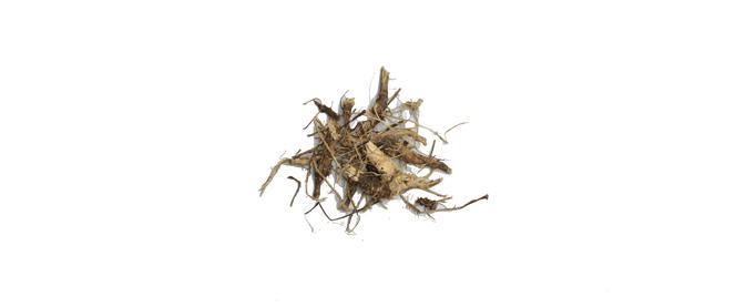 Echinacea Pourpre