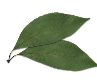 aguacate_hojas