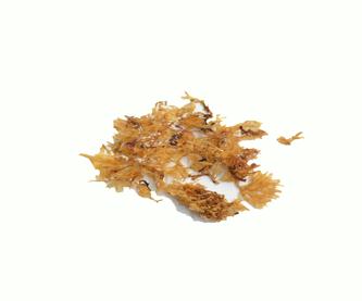 alga-laminaria