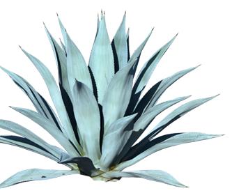 blue_agave
