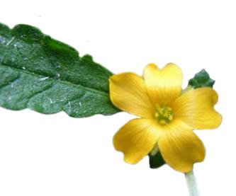 damiana_leaf