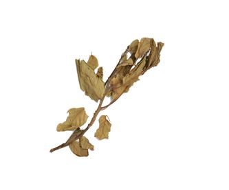 hojasdeaguacate