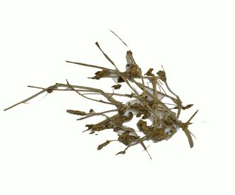 pata-de-leonedit
